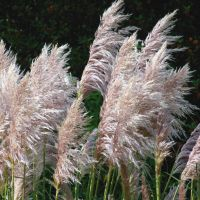 Pink Pampas Waving In A Summer Breeze by aegiandyad