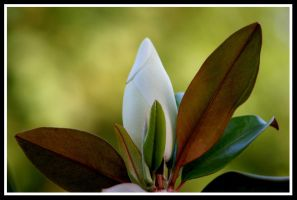 Magnolia by uk-antalya