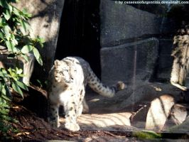 Snow leopard X by Cansounofargentina