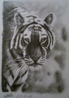 Tiger face by Dom579