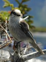 One more Grey Jay by LucieG-Stock