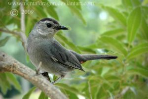 Gray Catbird by mentaldragon