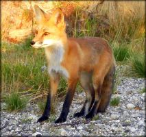 Regal Red Fox by xBnThrRckedThtx