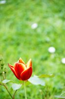 Tulip by Heurchon