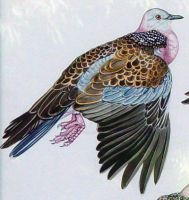 Spotted Dove Detail 1 by HouseofChabrier