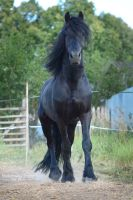 friesian horse by Vikarus
