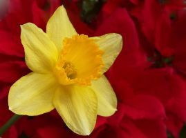 Narcissus in red by kanes