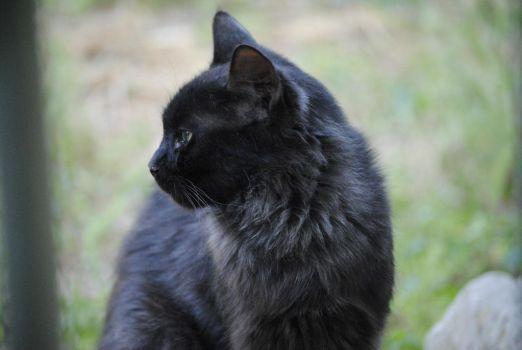 Black Cat 1.2 by mocking-turtle-stock