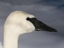 swan by Son-of-Italy