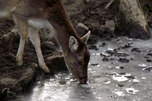 Drinking Deer by BMelzer