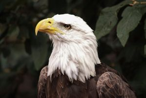 Bald Eagle 6 by EdgedFeather