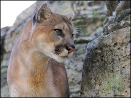 Cougar Photo Shoot 10 by SilkenWinds