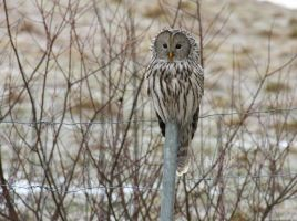 Ural owl by Hembrygd