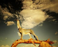 gepard-giraffe by wall-e-ps