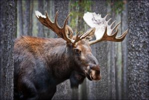 Mellow Moose by Behrfeet