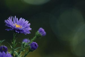 aster by RachaelXIII