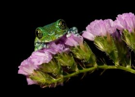 Usunbara peacock frog on pink by AngiWallace
