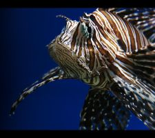Lionfish by KatiBear