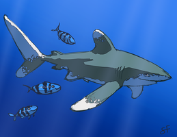 Oceanic Whitetip by shayfifearts