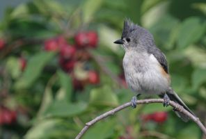 A Northern Tufted Titmouse by Merhlin