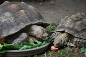 spur-thighed tortoise 1.5 by meihua-stock