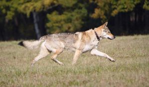 The Smooth Movement of Czechoslovakian Wolfdog by Czertice