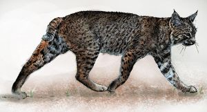 Digital Artwork, Bobcat by JosephAGarcia