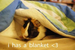 guinea pig in a blanket by Ivysumi