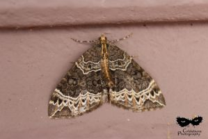 Small Phoenix Moth (Ecliptopera silaceata) by coldstares