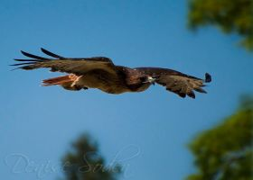 Flighted Red Tail by DeniseSoden