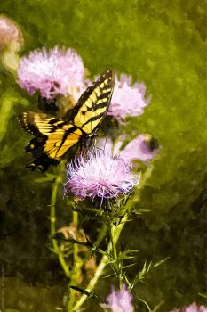 Swallowtail on Thistle by dworld