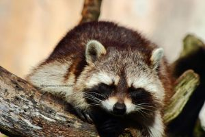 Cute Raccoon by Armandacyd