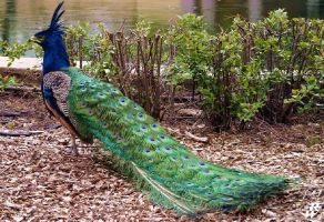 Long crested Peacock by Dwarf4r