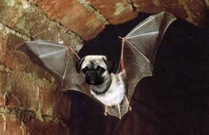 Pugbat - Fledermops by mceric