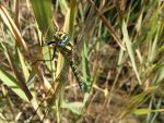 Blue-eyed green dragonfly by realTurtleNipple