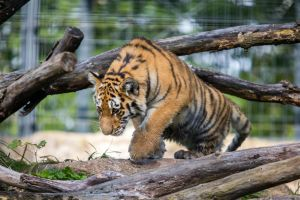 Tiger Cub by Fotostyle-Schindler