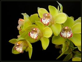 CYMBIDIUM 2 by THOM-B-FOTO
