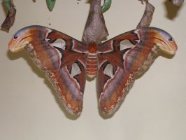 Attacus Atlas Moth by BretWalda1X