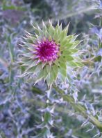 musk thistle by sewer-pancake