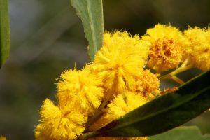 Wattle by Ratabago
