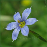 Blue-eyed Grass by WaitingForTheWorms