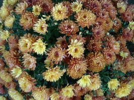 Bouquet of mums by racehorse87-stock