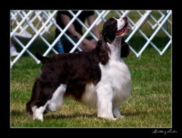 English Springer Spaniel by StrictlyCanine-SI