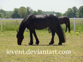 Friesian Stock 1 by iEvent