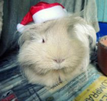 Merry Christmas from my Guinea Pig 2 by Annabel158