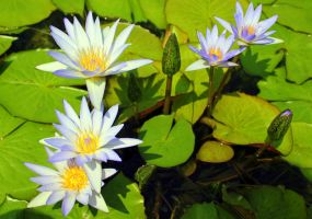 water lilies by frei76