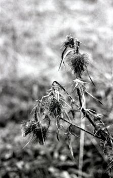 Old teasels by TAGUS