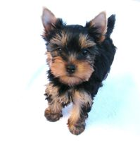 Brown Cheaks by Show-us-Yorkies