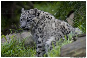 Baby Snow Leopard: Glare by TVD-Photography