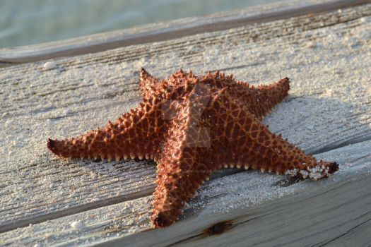 Starfish by caymanian15